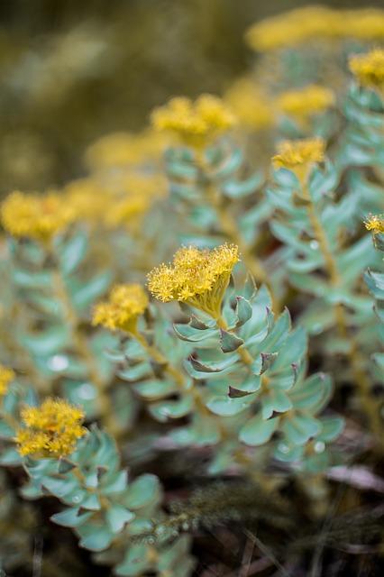 Rhodiola : Planteadaptogène.