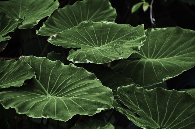 Kava-Kava, la plante interdite…